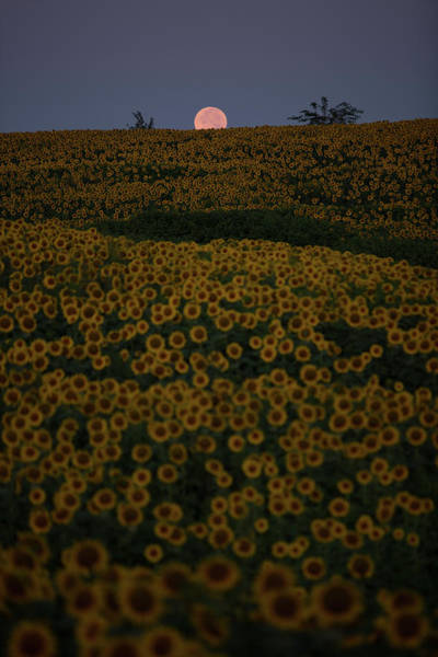 Photograph - Sunflower Moonset by Eilish Palmer