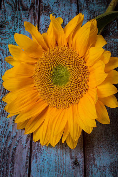 Single Leaf Wall Art - Photograph - Sunflower On Blue Boards by Garry Gay