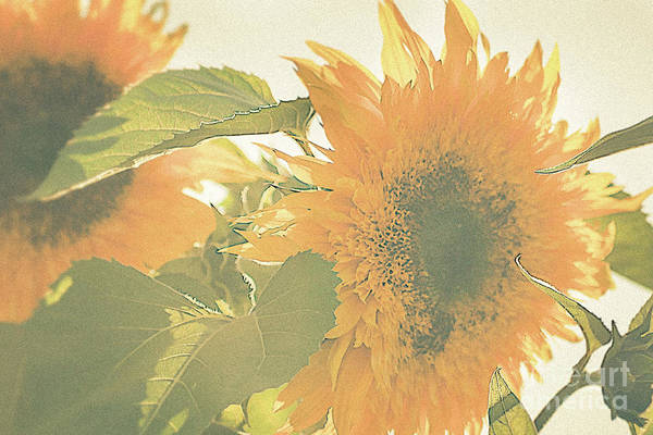Photograph - Sunflower Pair by Ana V Ramirez