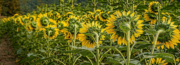 Photograph - Sunflower Pano by Joye Ardyn Durham