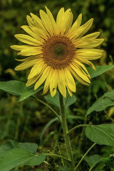 Sunflower Seeds Photograph - Sunflower by Paul Freidlund