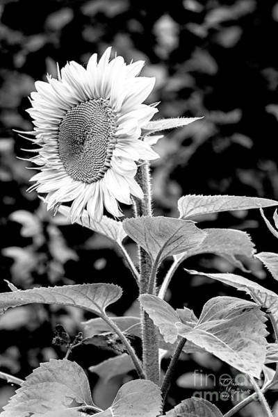 Photograph - Sunflower Peace Canvas Print,photographic Print,art Print,framed Print,greeting Card,iphone Case, by David Millenheft