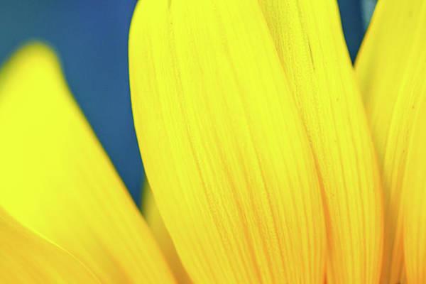Photograph - Sunflower Petals IIi by SR Green