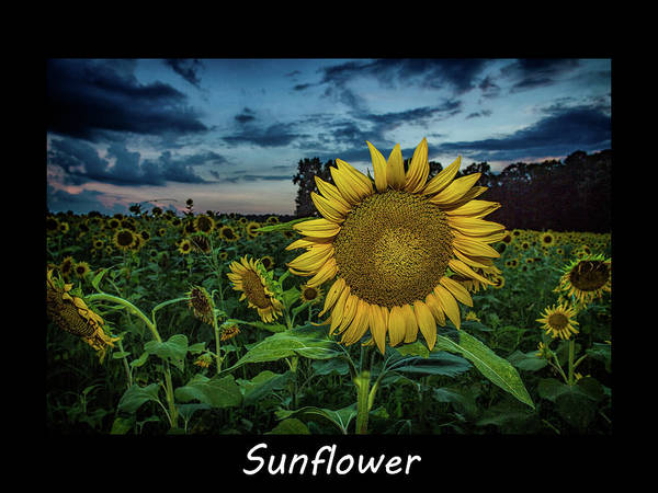 Photograph - Sunflower by Pete Federico