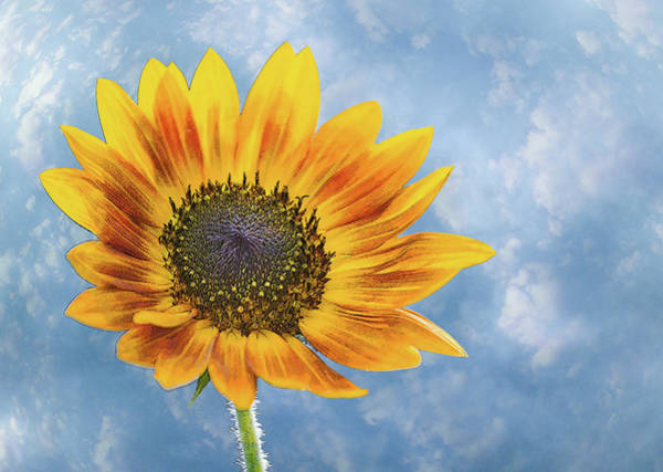Photograph - Sunflower Photo Cloudy Sky by Patti Deters