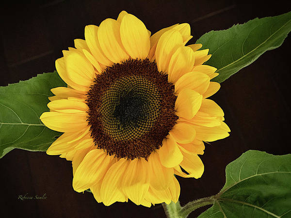 Photograph - Sunflower by Rebecca Samler