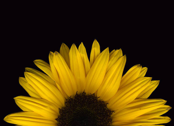 Photograph - Sunflower Rising by Deborah J Humphries