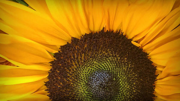 Photograph - Sunflower Rising by Nathan Little