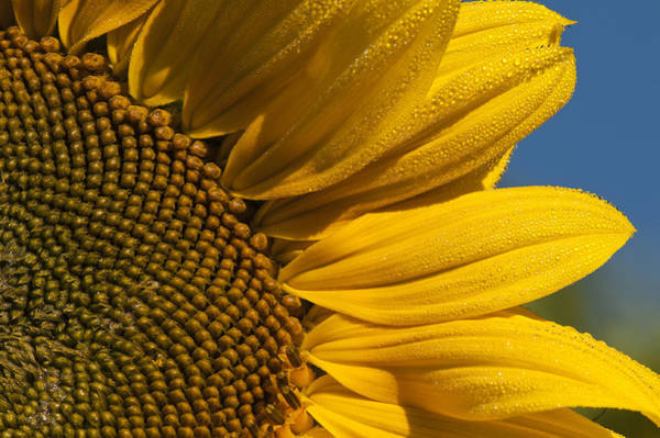Photograph - Sunflower by Robert Potts