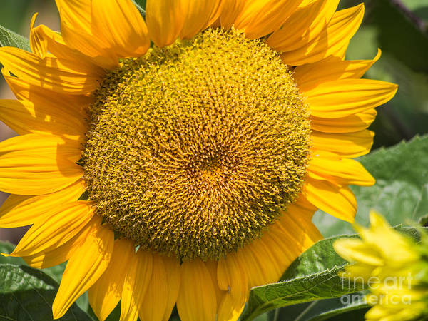Photograph - Sunflower by Robin Zygelman
