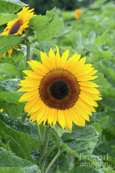 Helianthus Annuus Photograph - Sunflower Ronnie by Tim Gainey