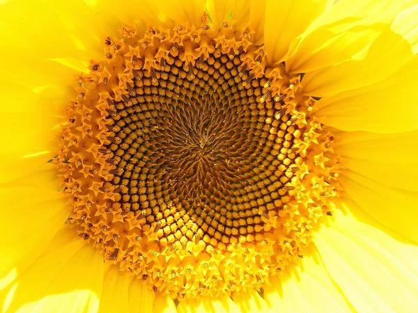 Photograph - Sunflower by Salvadore Delvisco