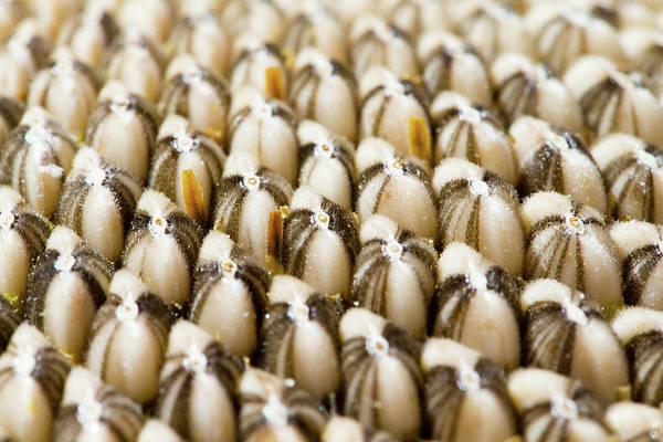Photograph - Sunflower Seeds by SR Green