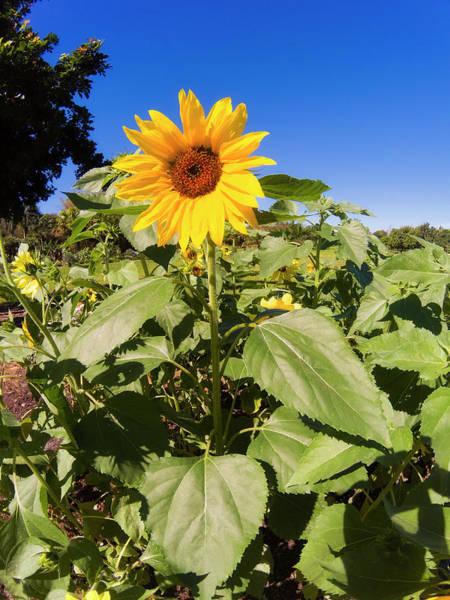 Photograph - Sunflower Series Gpro2399 by Carlos Diaz