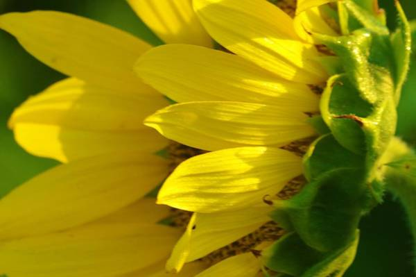 Photograph - Sunflower Side by Buddy Scott