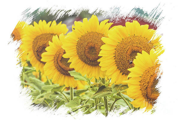 Photograph - Sunflower Sisters by Eleanor Abramson