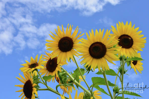 Wall Art - Photograph - Sunflower Smiles by Ann Loyd