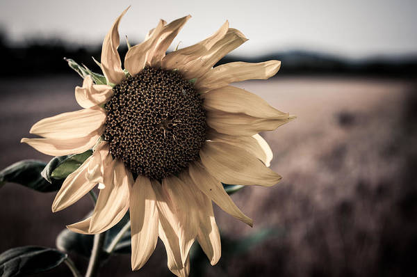 Sunflower Solitude Art Print