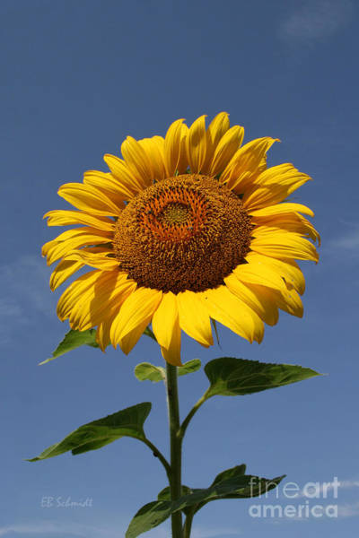 Photograph - Sunflower Standing Tall by E B Schmidt