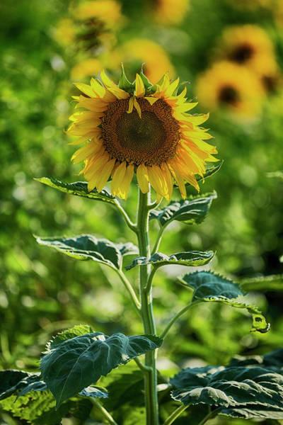Wall Art - Photograph - Sunflower by Stephen Stookey