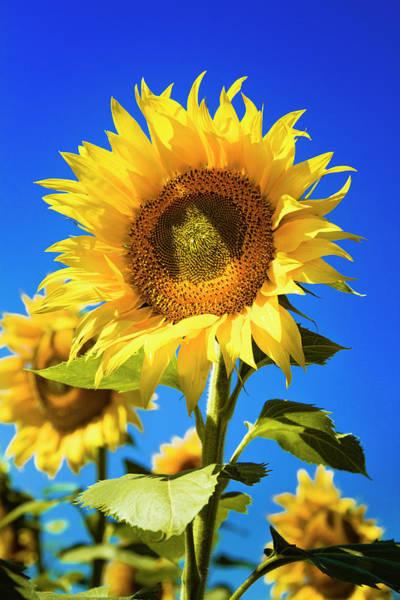 Photograph - Sunflower Summer by Teri Virbickis