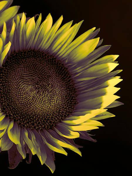 Sunflower Seeds Photograph - Sunflower Dawn by William Dey
