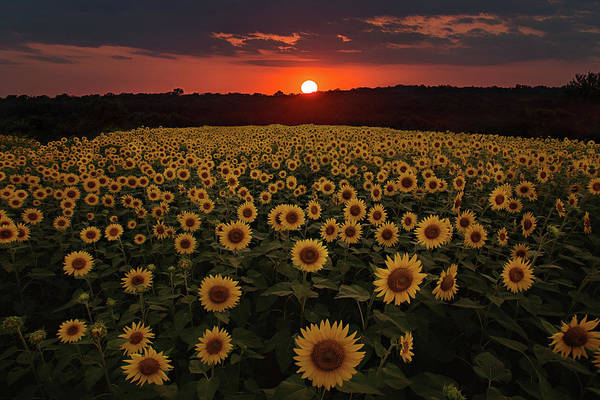 Photograph - Sunflower Sunset by Eilish Palmer