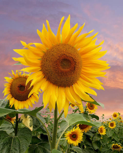 Photograph - Sunflower Sunset by Gill Billington