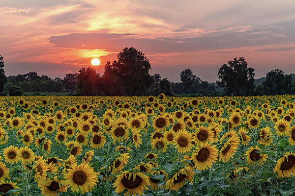 Photograph - Sunflower Sunset II by Rod Best
