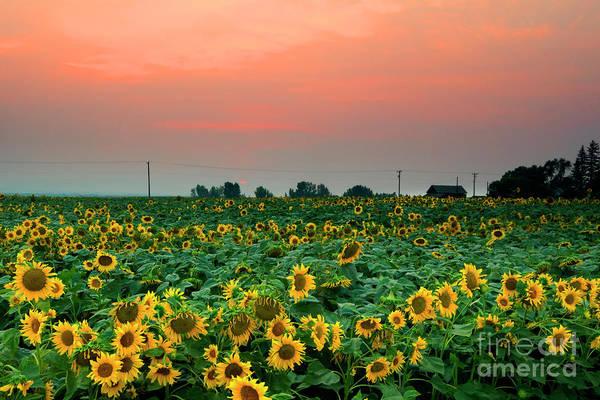 Wall Art - Photograph - Sunflower Sunset by Mike Dawson