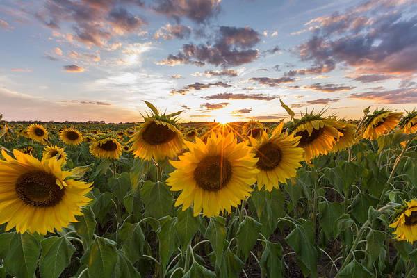 Photograph - Sunflower Sunset by Paul Schultz