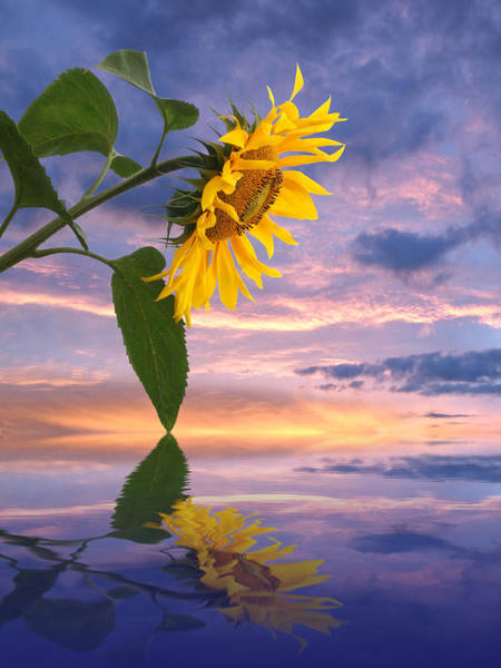 Photograph - Sunflower Sunset Reflections by Gill Billington
