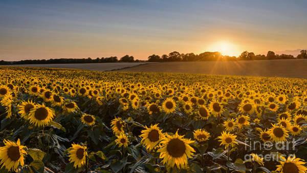 Wall Art - Photograph - Sunflower Sunset by Richard Thomas