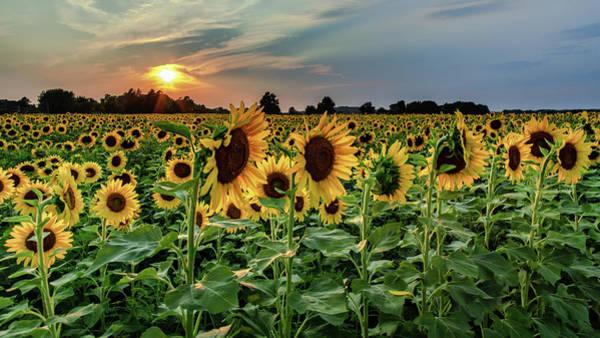 Photograph - Sunflower Sunset by Rod Best