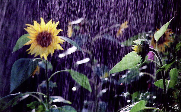 Photograph - Sunflower Sunshower by Wayne King
