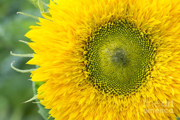 Wall Art - Photograph - Sunflower Superted by Tim Gainey