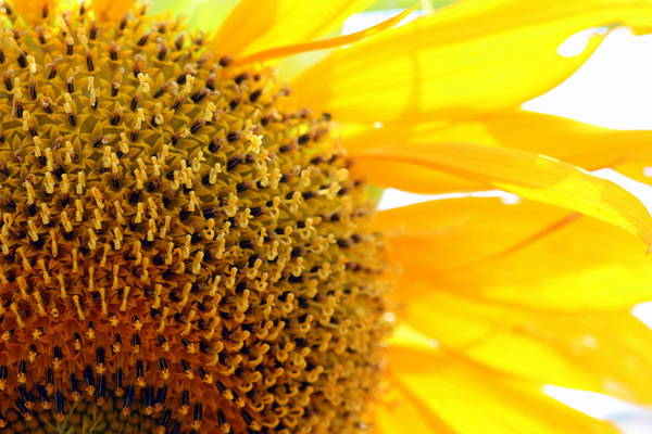 Photograph - Sunflower by Susie Weaver