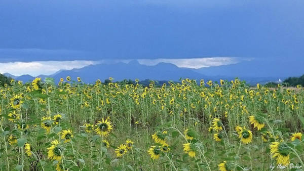 Photograph - Sunflower Symphony by Heidi Sieber