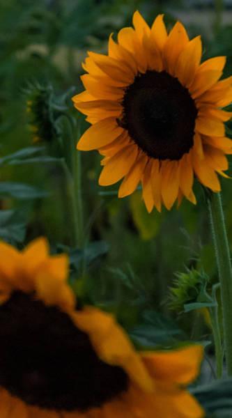 James Craddock Photograph - Sunflower Tag by James Craddock