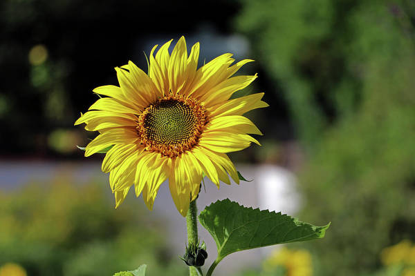 Photograph - Sunflower by Tony Murtagh