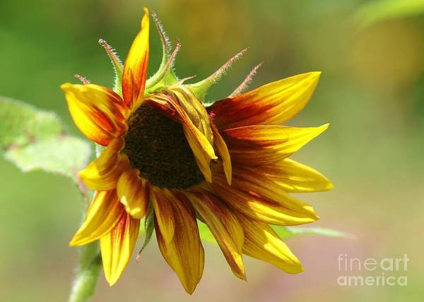 Photograph - Sunflower Trendsetter by Sabrina L Ryan