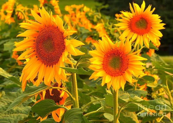 Photograph - Sunflower Trio by Adam Jewell
