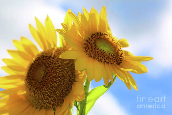 Photograph - Sunflower Twins by Diana Raquel Sainz