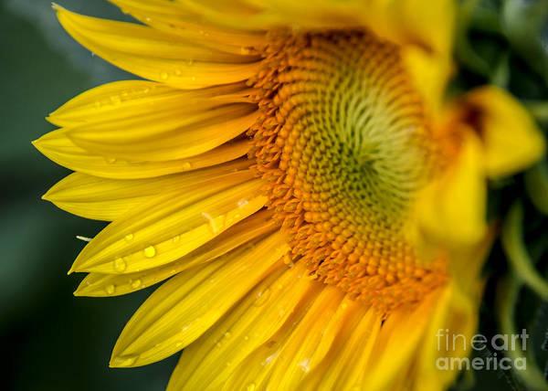 Photograph - Sunflower by Viviana  Nadowski
