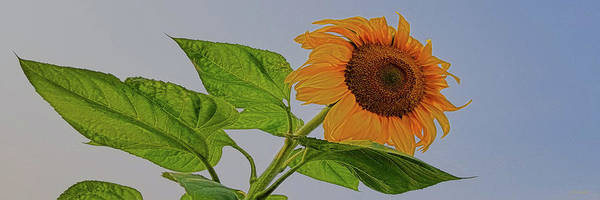 Photograph - Sunflower Wild by Amanda Smith