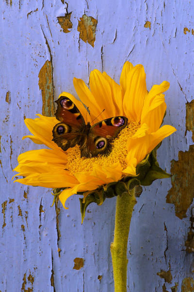 Single Leaf Wall Art - Photograph - Sunflower With Brown Butterfly by Garry Gay