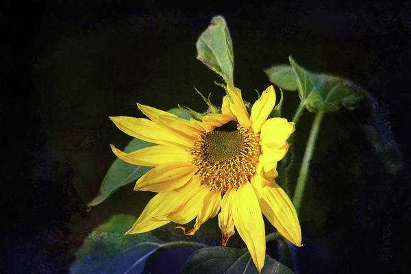 Photograph - Sunflower With Texture by Trina Ansel