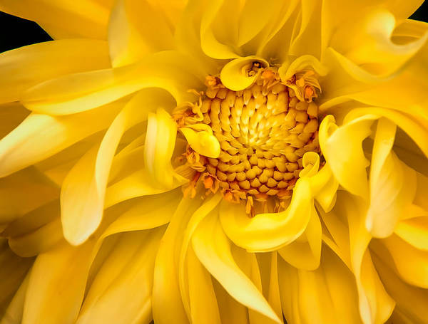 Photograph - Sunflower Yellow by Barry Weiss