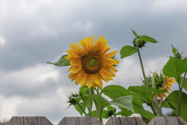 Wall Art - Photograph - Sunflowers 2018-1 by Thomas Young