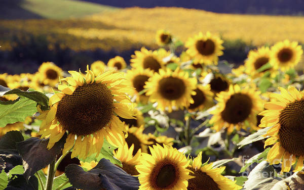 Photograph - Sunflowers 3 by Andrea Anderegg
